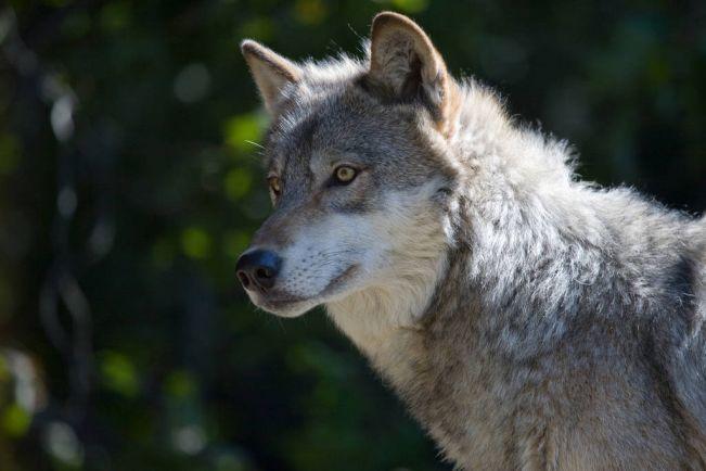 Калейдоскоп, Волки терроризируют шведов | Волки терроризируют шведов
