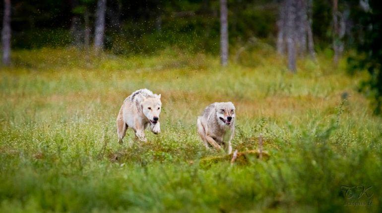 Калейдоскоп, Российских волков ждут в Швеции | Российских волков ждут в Швеции
