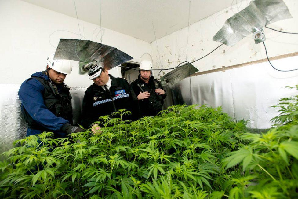 Как провести с собой марихуану конопля начавшая расти