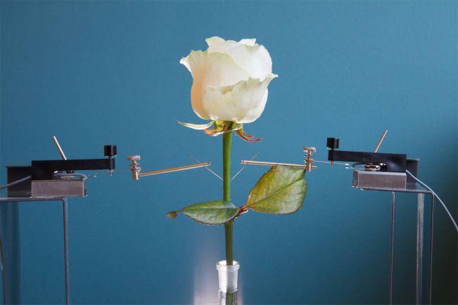 Калейдоскоп, В Швеции вывели электрические розы | В Швеции вывели электрические розы