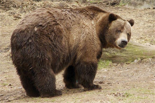 Калейдоскоп, Шведский охотник отпугнул медведя криком | Шведский охотник отпугнул медведя криком