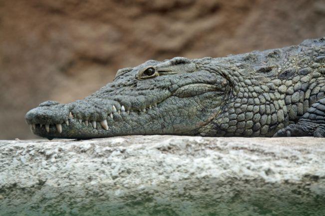 Калейдоскоп, Голод гонит из Африки в Данию даже крокодилов |