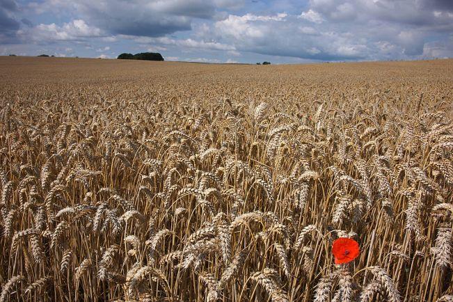 Бизнес, Мир отвернулся от датской пшеницы | Мир отвернулся от датской пшеницы