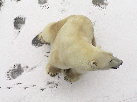 Калейдоскоп, Чешского туриста оштрафовали в Норвегии за нападение на белого медведя | Чешского туриста оштрафовали в Норвегии за нападение на белого медведя