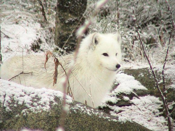 Калейдоскоп, Норвегия и Швеция объединяют усилия для спасения полярной лисицы | Норвегия и Швеция объединяют усилия для спасения полярной лисицы