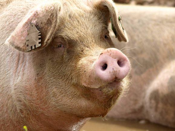 Калейдоскоп, В Швеции бесследно пропало стадо свиней | В Швеции бесследно пропало стадо свиней