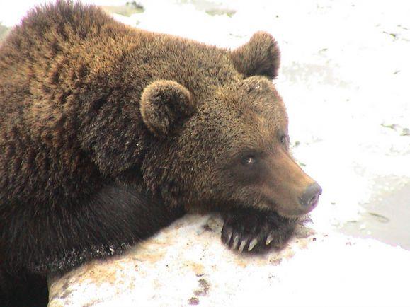 Калейдоскоп, Норвежцев призвали собирать медвежьи экскременты и cдавать их властям | Норвежцев призвали собирать медвежьи экскременты и cдавать их властям