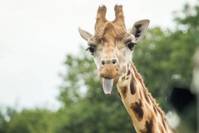 Калейдоскоп, Датские зоопарки продолжают развлекать посетителей, анатомируя животных | Датские зоопарки продолжают развлекать посетителей, анатомируя животных