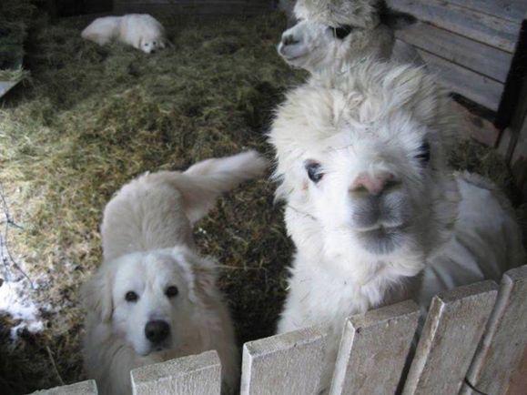 Калейдоскоп, Шведские альпака приняли маремму за своего | Шведские альпака приняли маремму за своего