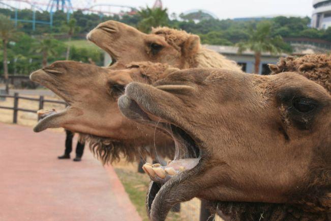Калейдоскоп, Водитель грузовика в Швеции столкнулся с верблюдом | Водитель грузовика в Швеции столкнулся с верблюдом