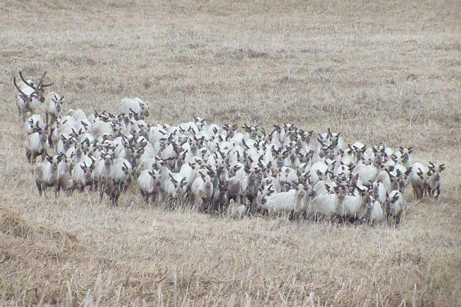 Общество, В Норвегии одновременно погибли 323 оленя | В Норвегии одновременно погибли 323 оленя