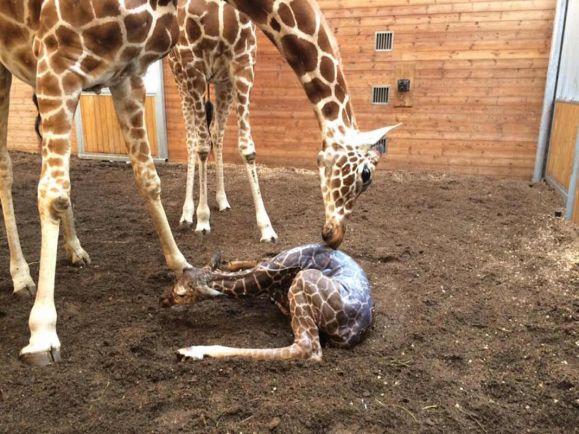 Калейдоскоп, Новорожденного жирафа в зоопарке Копенгагена может постичь судьба его сородича Мариуса | Новорожденного жирафа в зоопарке Копенгагена может постичь судьба его сородича Мариуса