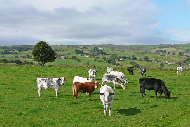 Калейдоскоп, Выведенная в Дании трава сократит выбросы парниковых газов коровами | Выведенная в Дании трава сократит выбросы парниковых газов коровами
