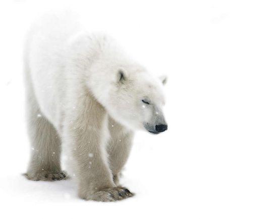 Калейдоскоп, В датском зоопарке скоропостижно скончалась белая медведица | В датском зоопарке скоропостижно скончалась белая медведица