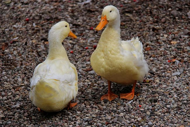 Бизнес, В Швеции готовятся к приходу птичьего гриппа из Дании | В Швеции готовятся к приходу птичьего гриппа из Дании