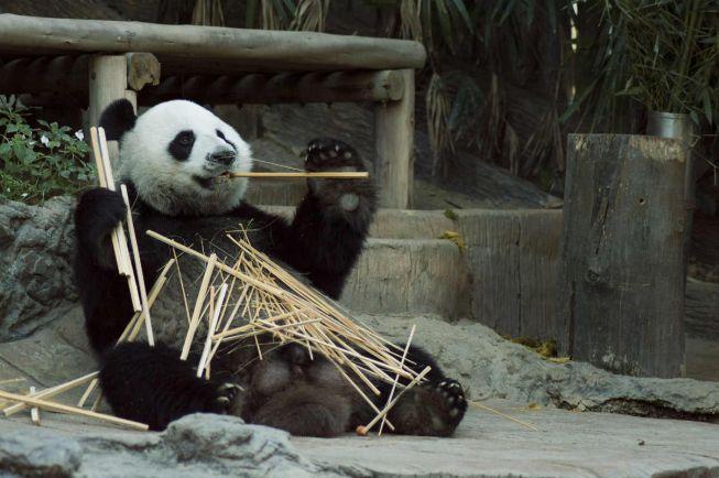 Калейдоскоп, Пенсионер не хочет платить за содержание китайских панд в финской глубинке | Пенсионер не хочет платить за содержание китайских панд в финской глубинке