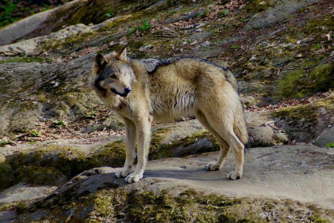 Калейдоскоп, Впервые за два века в лесах Дании поселилась семья волков | Впервые за два века в лесах Дании поселилась семья волков