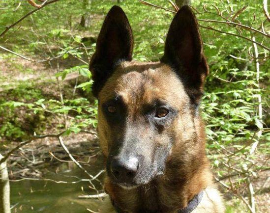 Калейдоскоп, Служебную собаку датских военных за одну неделю украли дважды | Служебную собаку датских военных за одну неделю украли дважды