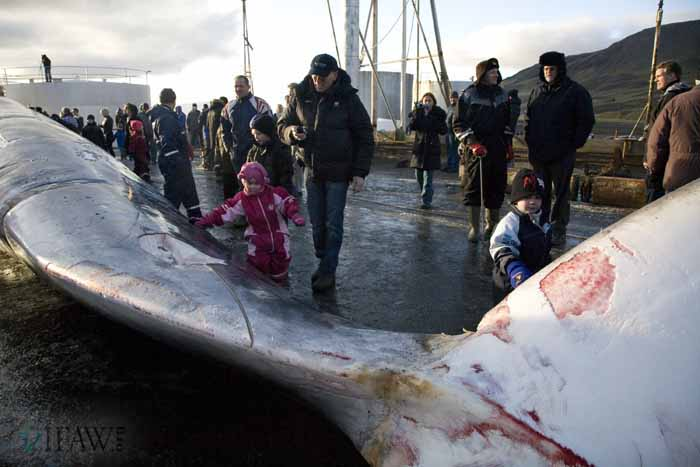 International Fund for Animal Welfare Animal Rescue Blog /Spectators Along the Side of Fin Whale Killed by Icelandic Whalers