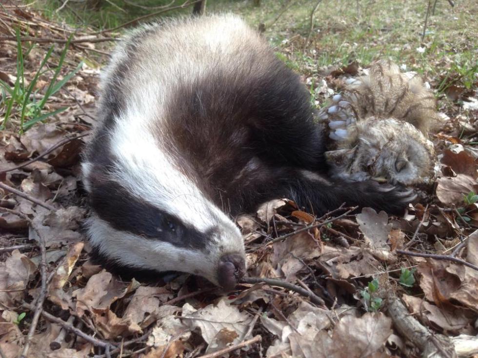 Фото: Gunn Lilleholt Bekkvik. Что послужило причиной смерти барсука и совы?